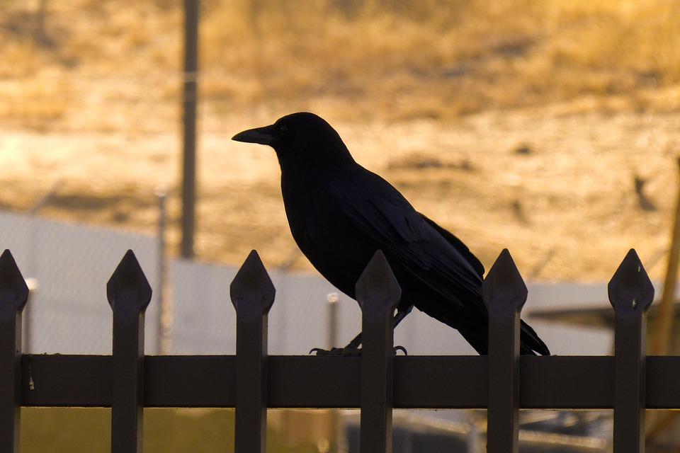 Crow In Silhouette, Halloween, Bird, Black Bird, Raven