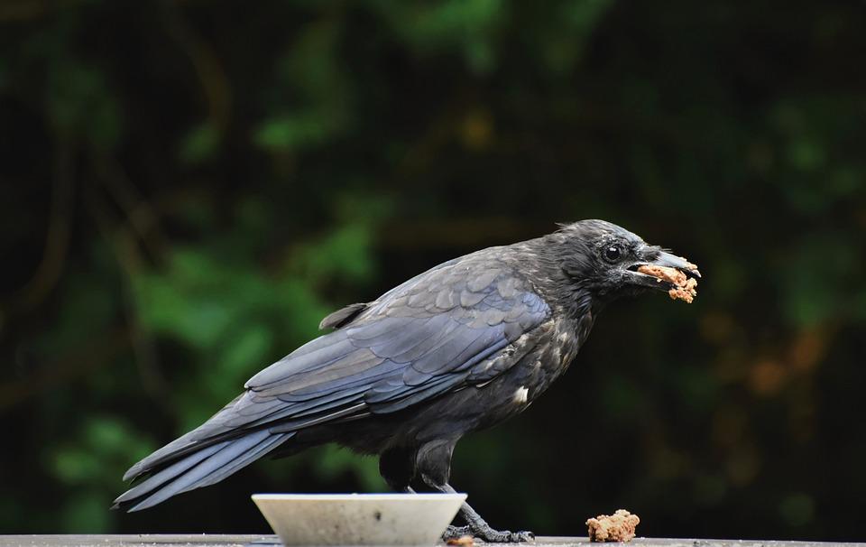 Raven, Crow, Bird, Common Raven, Western Raven