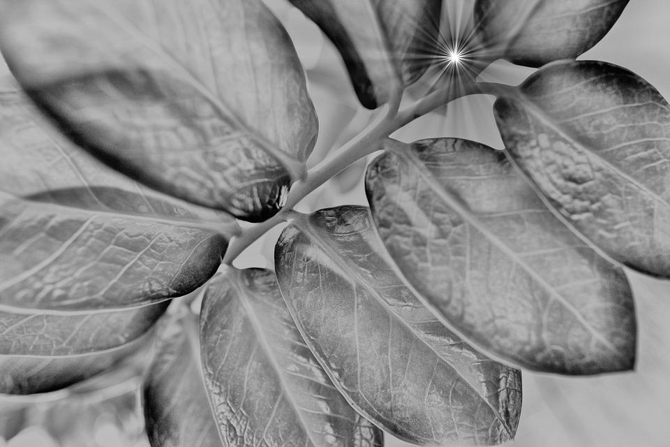 Plant, Ray Of Light, Leaves, Lighting, Black And White