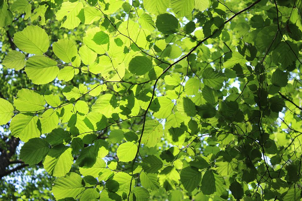 Leaf, Solar, Rays Of Sunshine, Light, Green, Sunshine