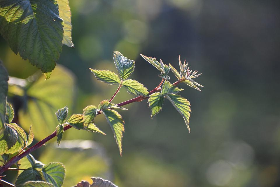 Branch, Young, Blackberry, Lit, Rays
