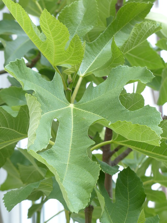 Fig Leaf, Leaf, Tree, Real Coward, Ficus Carica, Green
