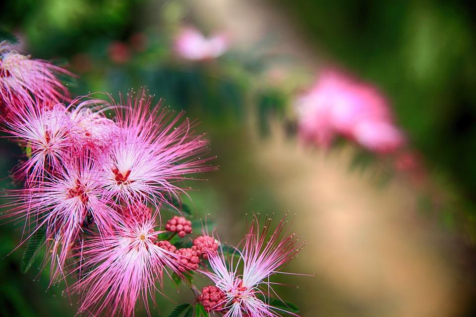 Puff Flower, Pink Flutter Flower, Red Acacia