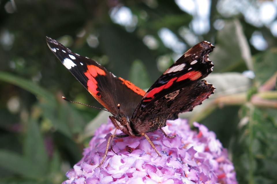 Red Admiral, Butterfly, Edelfalter, Insect, Nature