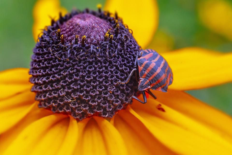Striped Bug, Graphosoma Lineatum, Red, And, Black