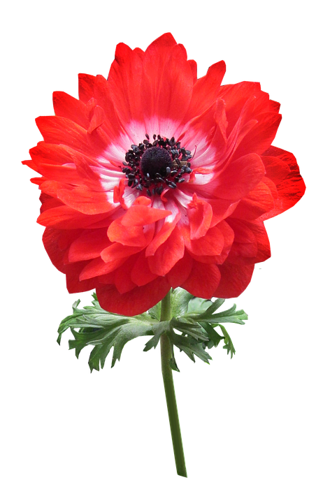 Anemone, Red, Double Flower