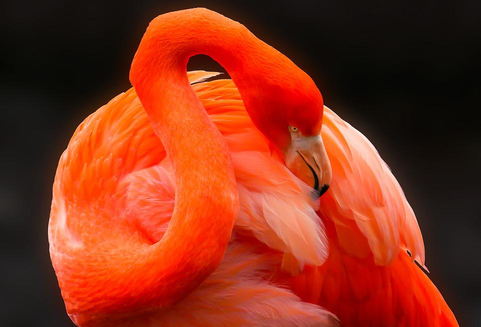 Animal, Bird, Flamingo, Feather, Red, Bill, Care