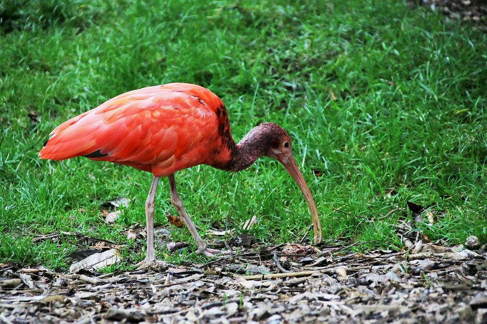 Red Ibis, Red Bird, Ibis, Red, Bird, Animal, Scarlet