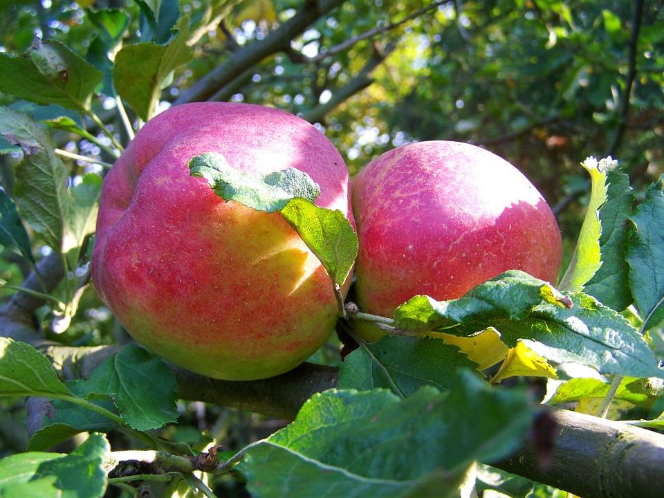 Red Apple, Ripe Fruit, Autumn
