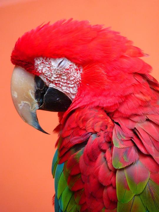 Red Ara, Ara Erythrocephala, Parrot, Bird, Colorful