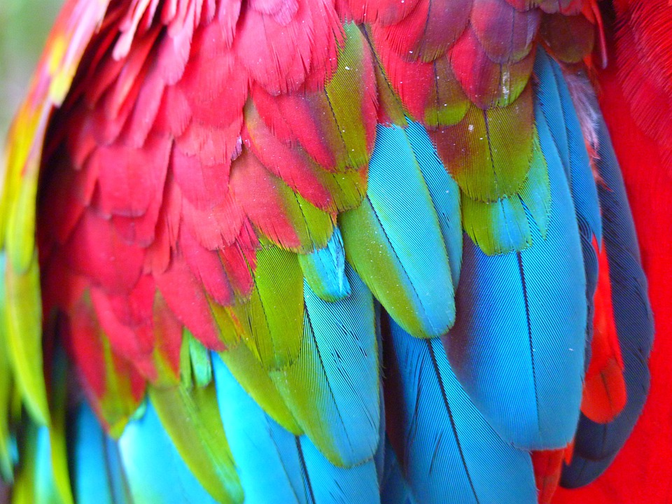 Plumage, Red Ara, Ara Erythrocephala, Parrot, Bird