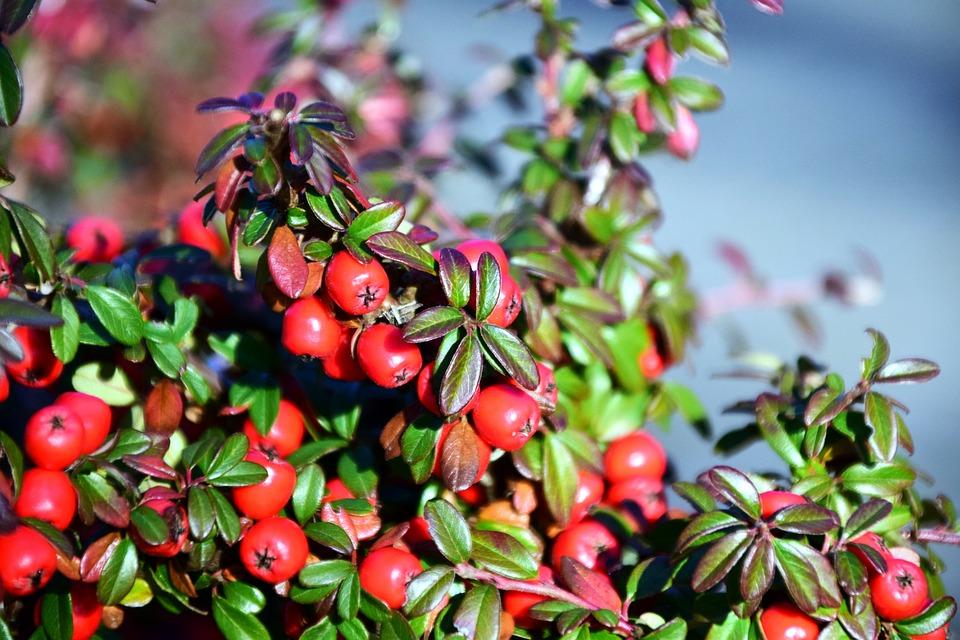 Rowan, Mountain Ash, Berries, Red, Fruits, Ash