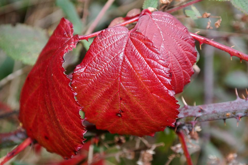 Brombeerblatt, Red, Autumn, Bramble, Leaves
