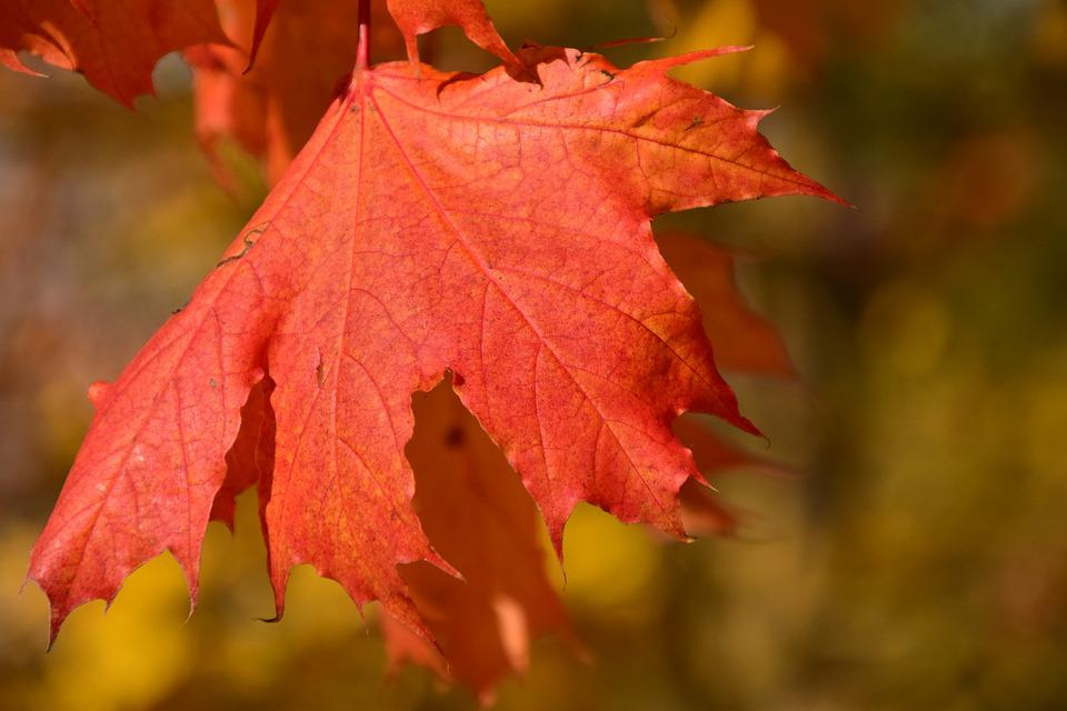 Leaf, Maple, Autumn, Red, Maple Leaf, Color, Colorful
