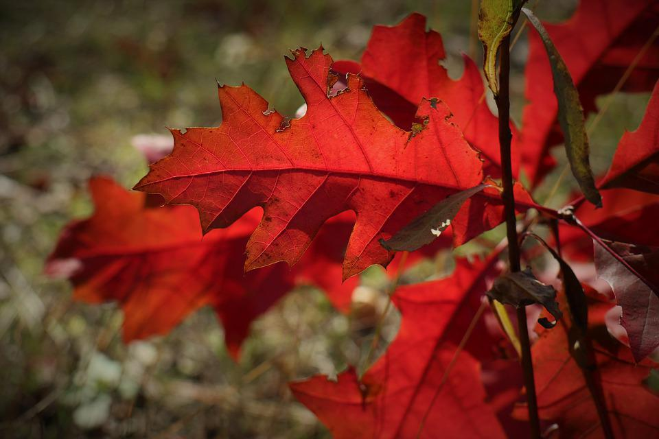 Color Red, Red, Oak Leaves, Autumn