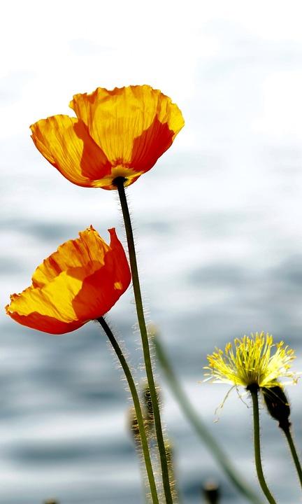 Nature, Flower, Blossom, Bloom, Red, Yellow, Back Light