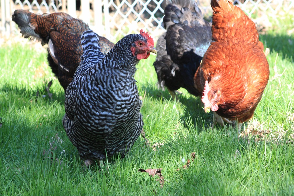 Chicken, Barred Rock, Stripes, Red, Sex Link