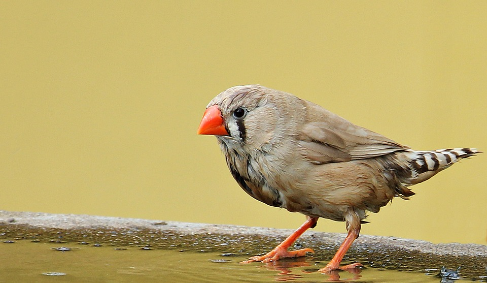 Zebra Finch, Bird, Red Beak, Bill, Water Bottle
