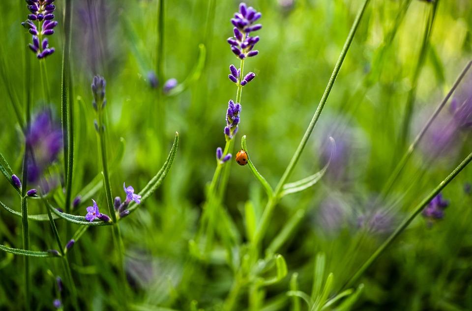Ladybug, Beetle, Lavenders, Ladybird Beetle, Red Beetle
