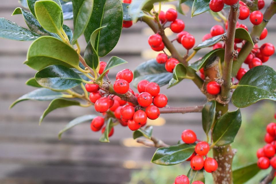 Free Photo Red Berry Shrubs Christmas Bush Plant Nature
