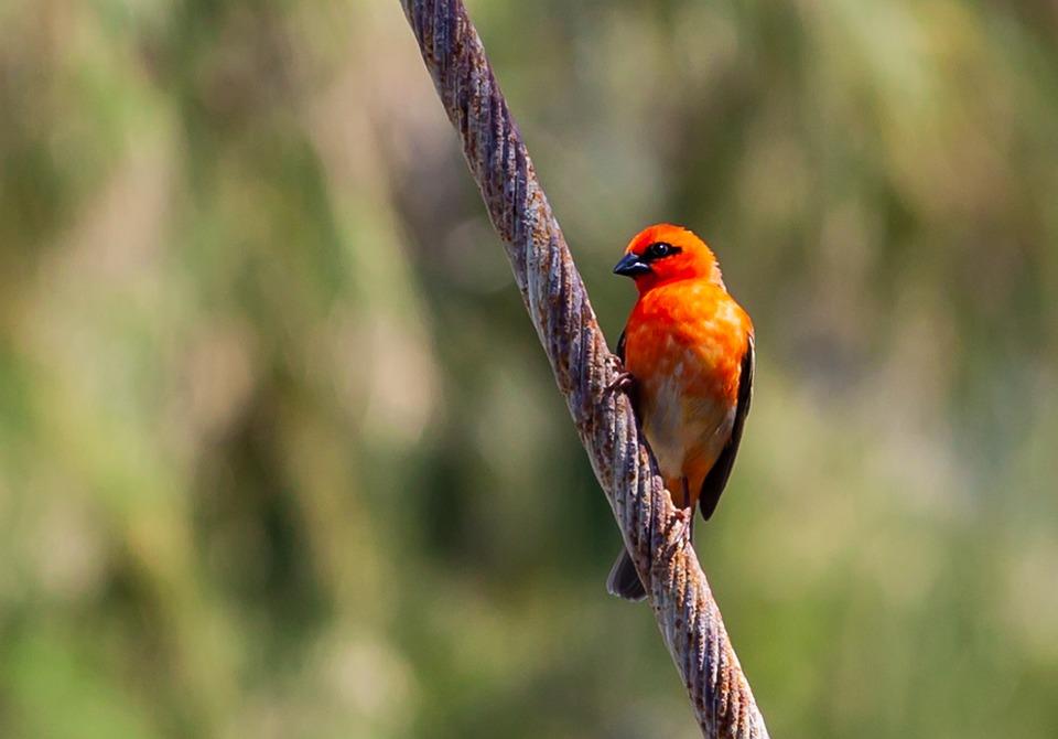 Red Fody, Red Bird On A Wire, Wild Red Bird