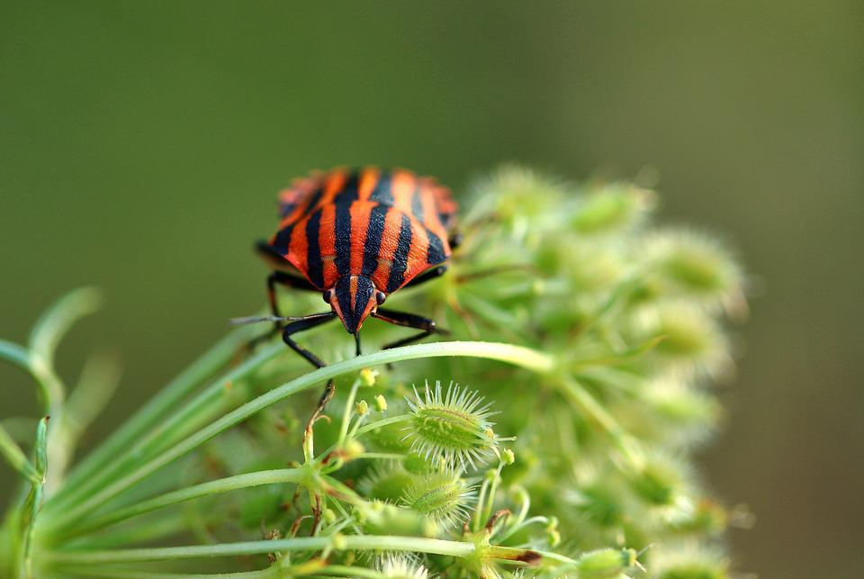 Strip Bug, Graphosoma Lineatum, Bug, Red Black, Insect
