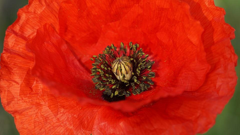 Klatschmohn, Blossom, Bloom, Flower, Bloom, May, Red