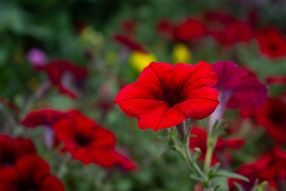 Flower, Red, Garden, Nature, Plant, Bloom, Summer