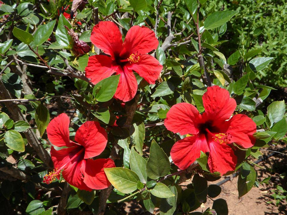 Hibiscus, Three, Bloom, Flowers, Flower, Red, Blossom