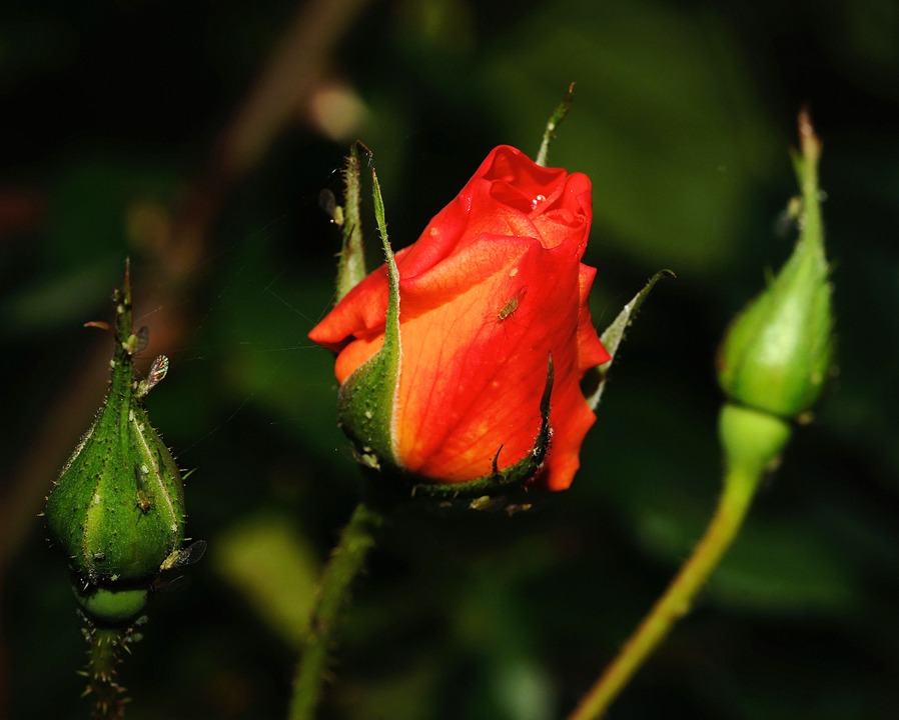 Rose, Blossom, Bloom, Red, Orange, Plant, Beautiful
