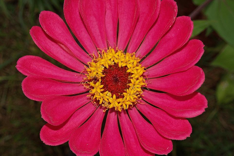Flower, Zinnia, Red, Bloom, Garden, Blossom, Nature