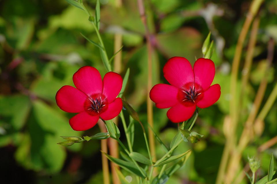 Red, Plant, Flower, Blossom, Bloom, Red Flowers