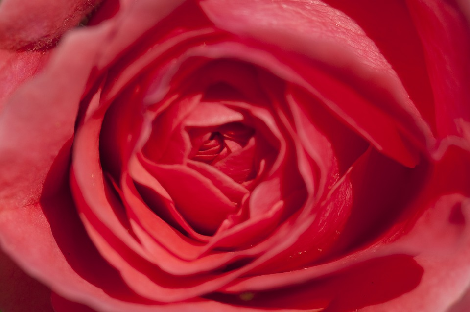 Red, Blossom, Bloom, Romantic, Rose Bloom, Beauty