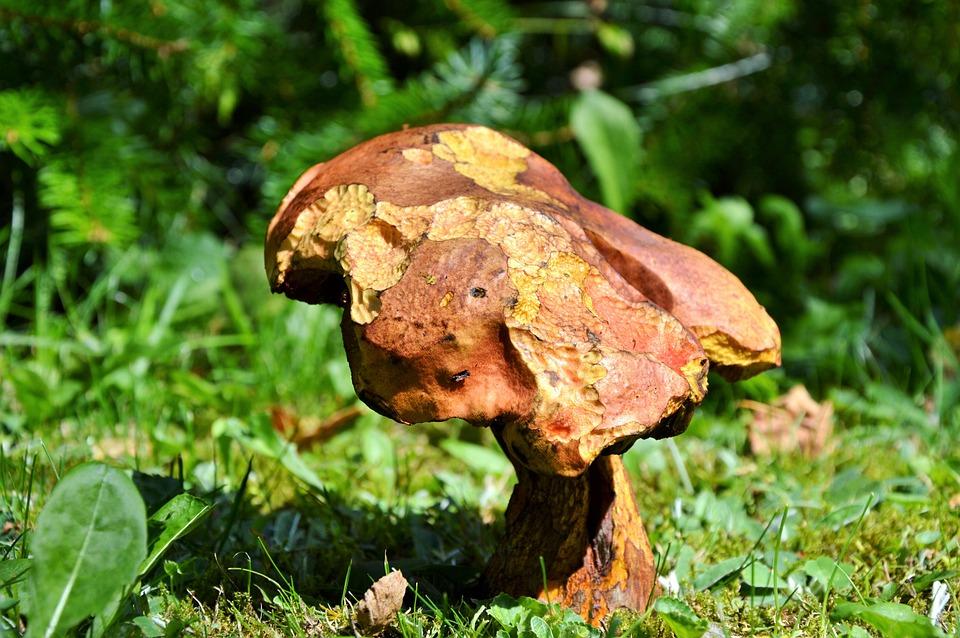 Mushroom, Tube Mushroom, Red Boletus, Forest Mushroom
