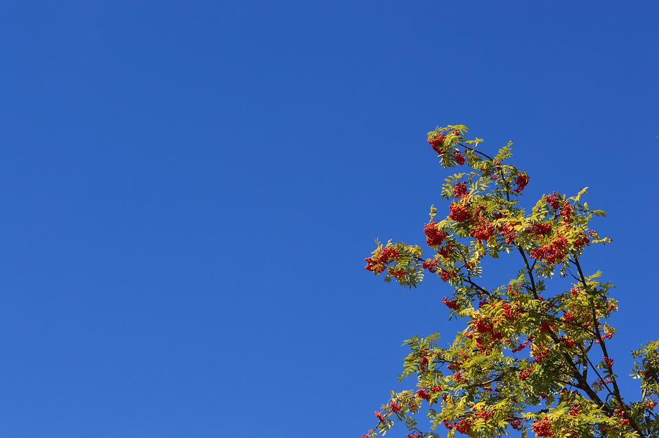 Rowan, Sky, Berry, Red, Leaves, Branch, Summer, Fruit