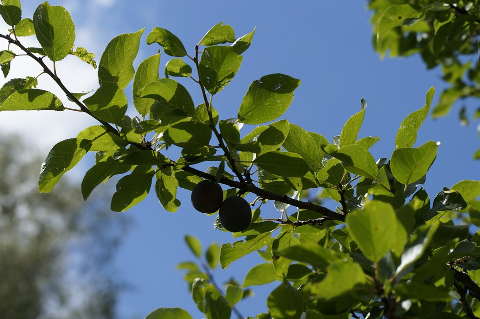 Yellow Plums, Branch, Fruits, Fruit, Red, Delicious