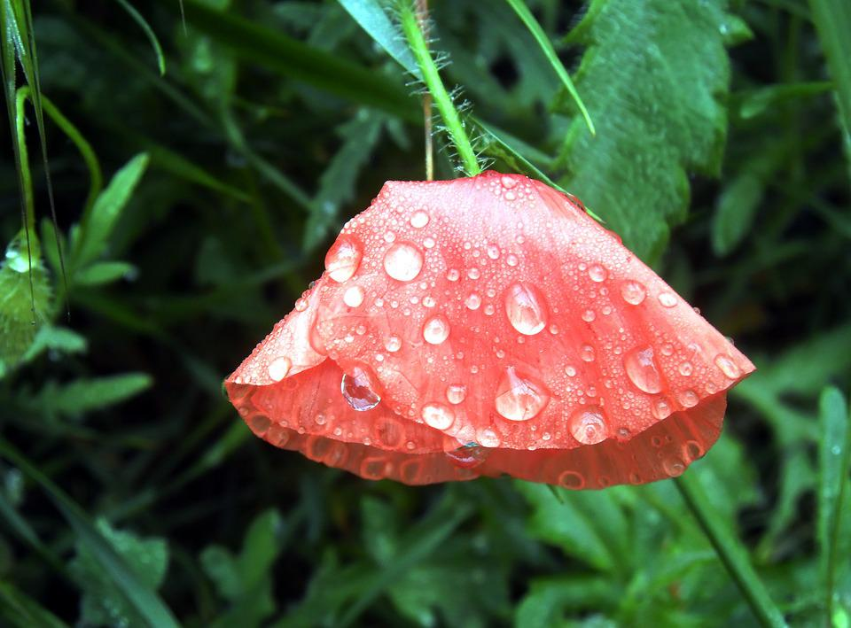 Poppy, Petals, Nature, Flower, Brightly Colored, Red