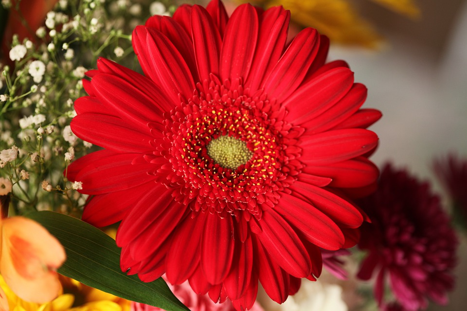 Flowers, Gerbera, Red, Scarlet, Cutflowers, Bunched