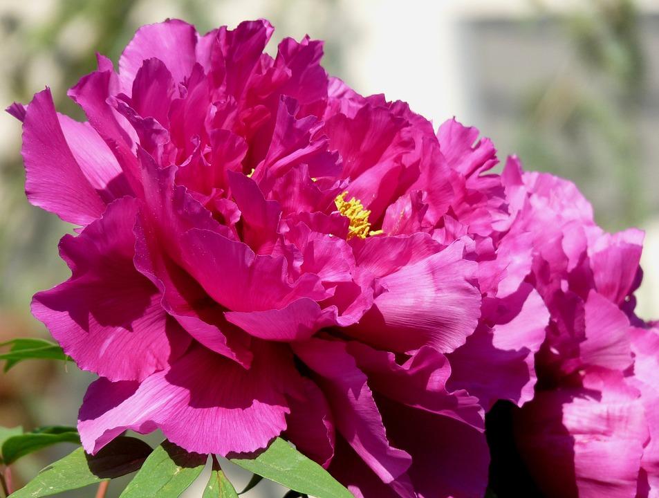 Peony, Full Bloom, Red, Bursting