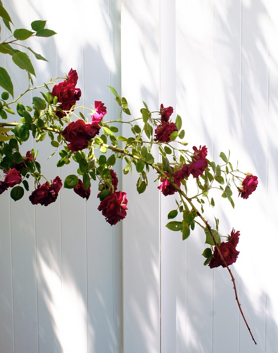 Red, Roses, Bush, White, Fence, Outdoor, Plant