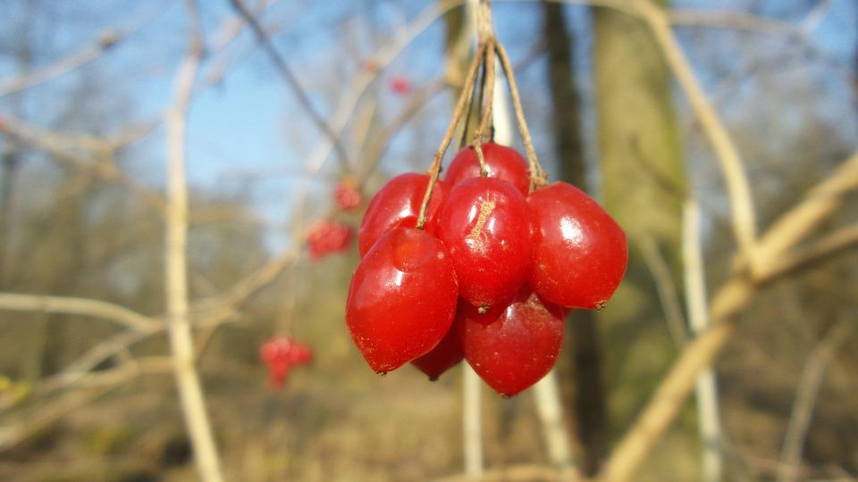 Berries, Nature, Plant, Red, Close, Sunny, Tree, Bush