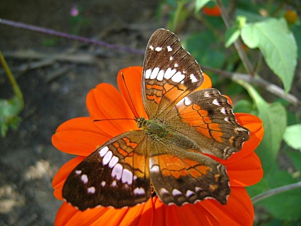 Butterfly, Flower, Red