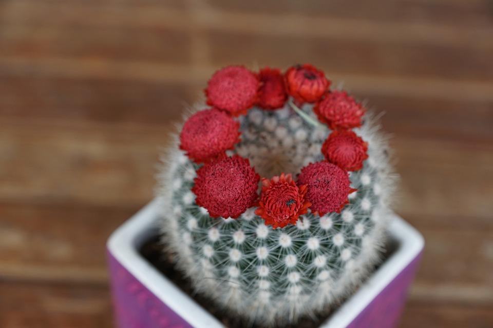 Cactus, Flourished, Red