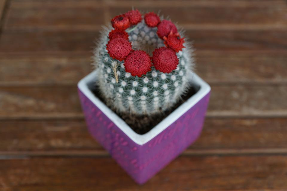 Cactus, Plant, Red, Flourished
