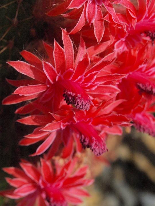 Cactus Blossom, Cactus Greenhouse, Bloom, Red