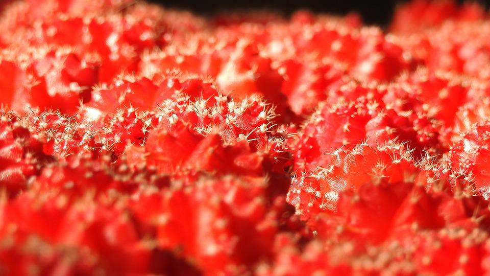 Cactus, Red, Plant