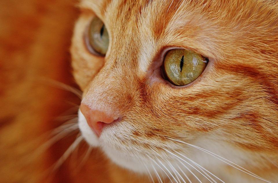 Cat, Red, Mackerel, Tiger, Animal, Domestic Cat, Fur