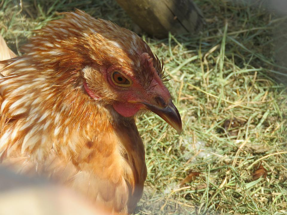 Farm, Chicken, Hen, Fowl, Poultry, Bird, Organic, Red