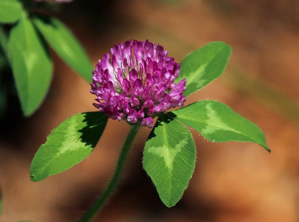 Red Clover Flower, Trifdium Pratense, Medicinal Plant