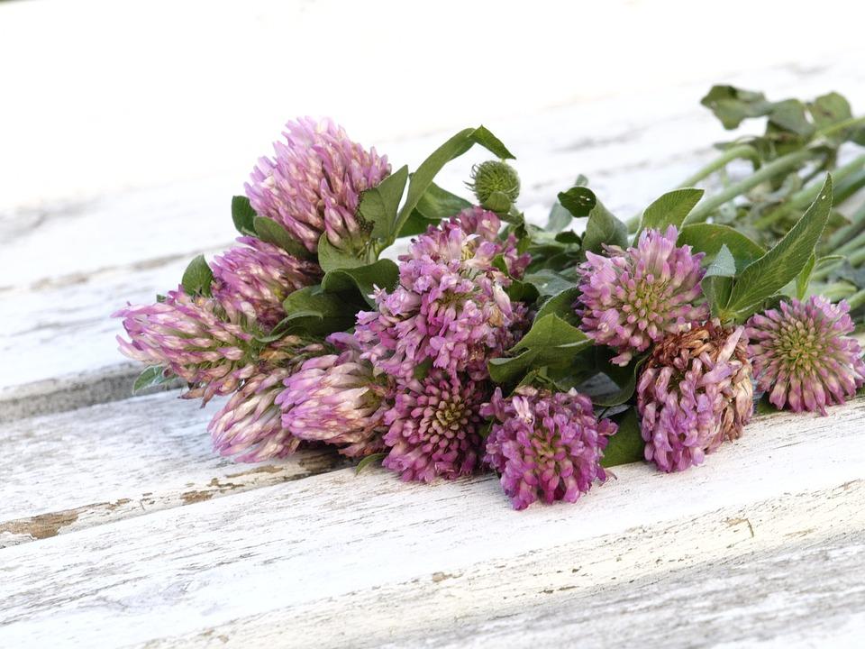 Red Clover, Medicinal Herb, Grassland Plants, Green